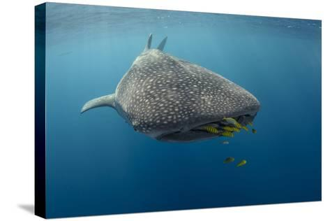 Whale Shark and Golden Trevally, Cenderawasih Bay, West Papua, Indonesia-Pete Oxford-Stretched Canvas Print