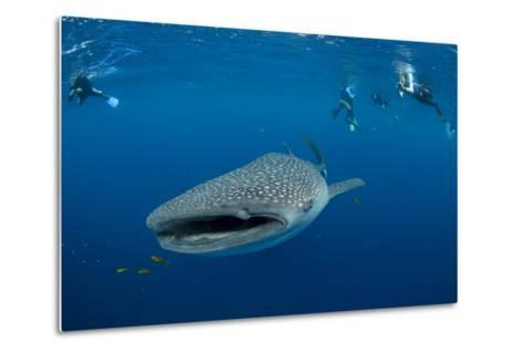 Whale Shark and People. Cenderawasih Bay, West Papua, Indonesia-Pete Oxford-Metal Print