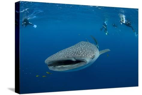 Whale Shark and People. Cenderawasih Bay, West Papua, Indonesia-Pete Oxford-Stretched Canvas Print