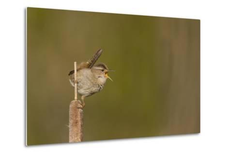 Washington, Male Marsh Wren Sings from a Cattail in a Marsh on Lake Washington-Gary Luhm-Metal Print