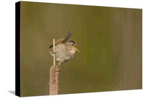 Washington, Male Marsh Wren Sings from a Cattail in a Marsh on Lake Washington-Gary Luhm-Stretched Canvas Print