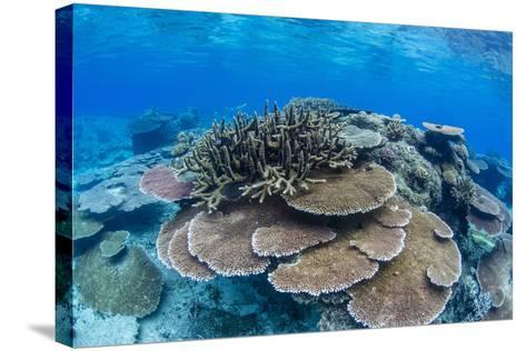 Underwater Profusion of Hard Plate Corals at Pulau Setaih Island, Natuna Archipelago, Indonesia-Michael Nolan-Stretched Canvas Print