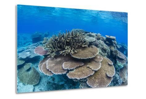 Underwater Profusion of Hard Plate Corals at Pulau Setaih Island, Natuna Archipelago, Indonesia-Michael Nolan-Metal Print