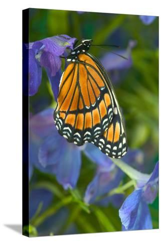 Viceroy Butterfly That Mimics the Monarch Butterfly-Darrell Gulin-Stretched Canvas Print