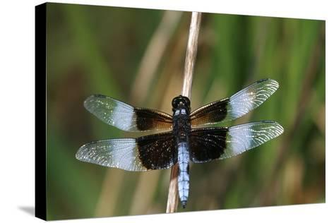 Widow Skimmer Male in Wetland, Marion County, Illinois-Richard and Susan Day-Stretched Canvas Print