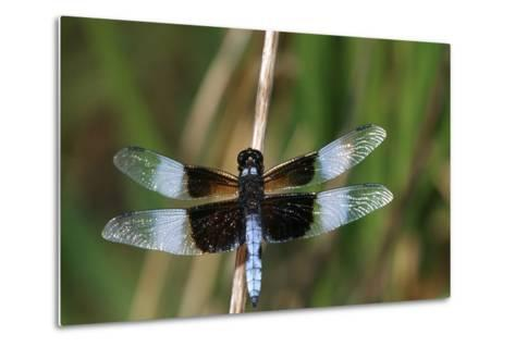 Widow Skimmer Male in Wetland, Marion County, Illinois-Richard and Susan Day-Metal Print