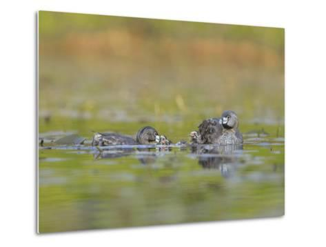 Washington, Pied-Bill Grebe Adult Brings Food Item to Newly-Hatched Chicks-Gary Luhm-Metal Print