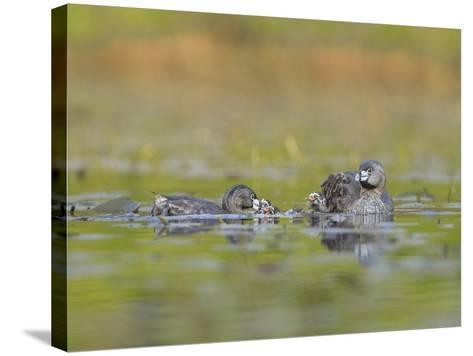 Washington, Pied-Bill Grebe Adult Brings Food Item to Newly-Hatched Chicks-Gary Luhm-Stretched Canvas Print