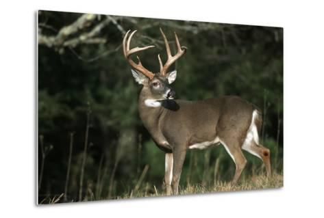 White-Tailed Deer 8-Point Buck Near Woods Great Smoky Mountains National Park Tennessee-Richard and Susan Day-Metal Print