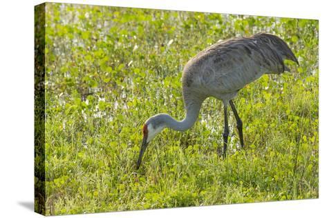 Wild Sandhill Crane Feeding, Florida-Maresa Pryor-Stretched Canvas Print