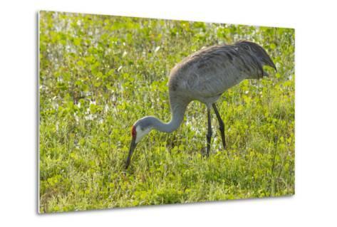 Wild Sandhill Crane Feeding, Florida-Maresa Pryor-Metal Print