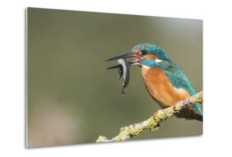 Kingfisher (Alcedo Atthis), Yorkshire, England, United Kingdom, Europe-David and Louis Gibbon-Metal Print