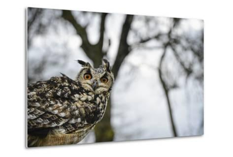 Eagle Owl, Raptor, Bird of Prey, Rhayader, Mid Wales, United Kingdom, Europe-Janette Hill-Metal Print