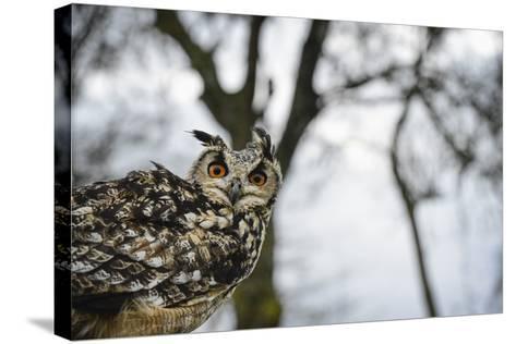 Eagle Owl, Raptor, Bird of Prey, Rhayader, Mid Wales, United Kingdom, Europe-Janette Hill-Stretched Canvas Print