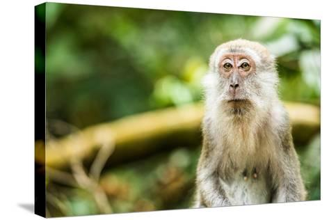 Long Tailed Macaque (Macaca Fascicularis), Indonesia, Southeast Asia-John Alexander-Stretched Canvas Print
