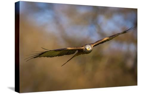 Red Kite (Milvus Milvus) in Flight, Rhayader, Wales, United Kingdom, Europe-Andrew Sproule-Stretched Canvas Print