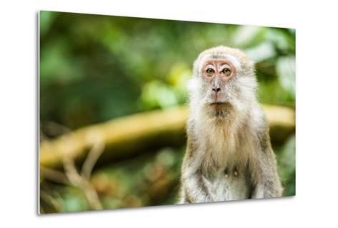 Long Tailed Macaque (Macaca Fascicularis), Indonesia, Southeast Asia-John Alexander-Metal Print