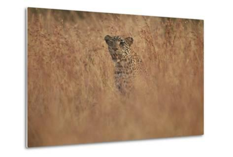 Leopard (Panthera Pardus) in Tall Grass, Kruger National Park, South Africa, Africa-James Hager-Metal Print