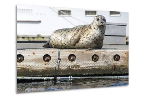 Washington, Poulsbo. Harbor Seal Haul Out on Dock. Acclimated to Boat Traffic-Trish Drury-Metal Print