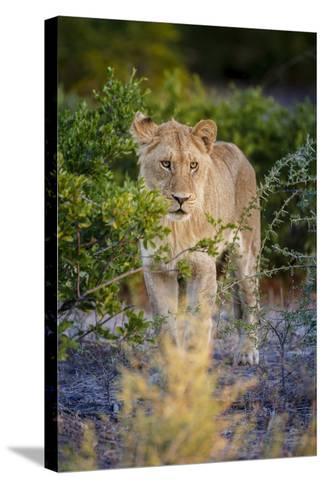 Male Lion (Panthera Leo) Juvenile, Moremi, Okavango Delta, Botswana, Africa-Andrew Sproule-Stretched Canvas Print