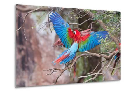 Playful Red-And-Green Macaws (Ara Chloropterus), Buraco Das Araras, Mato Grosso Do Sul, Brazil-G&M Therin-Weise-Metal Print