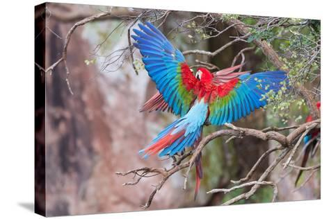 Playful Red-And-Green Macaws (Ara Chloropterus), Buraco Das Araras, Mato Grosso Do Sul, Brazil-G&M Therin-Weise-Stretched Canvas Print