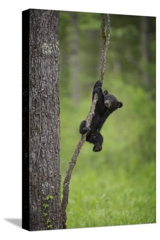 USA, Tennessee. Black Bear Cub Playing on Tree Limb-Jaynes Gallery-Stretched Canvas Print