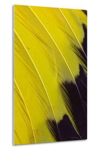 Wing Feathers of Yellow Rumped Cacique-Darrell Gulin-Metal Print