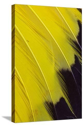 Wing Feathers of Yellow Rumped Cacique-Darrell Gulin-Stretched Canvas Print