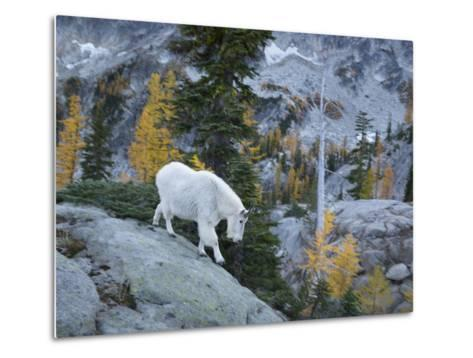 Washington, Adult Mountain Goat Steps Down a Rock Face in the Alpine Lakes Wilderness-Gary Luhm-Metal Print