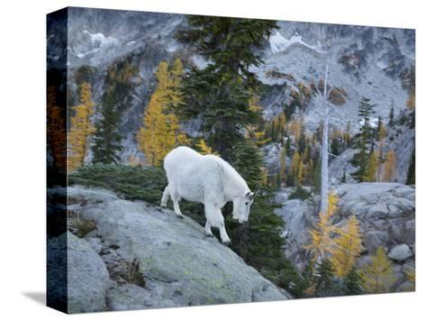Washington, Adult Mountain Goat Steps Down a Rock Face in the Alpine Lakes Wilderness-Gary Luhm-Stretched Canvas Print