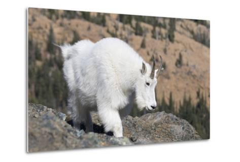 Washington, Alpine Lakes Wilderness, Mountain Goat, Nanny-Jamie And Judy Wild-Metal Print