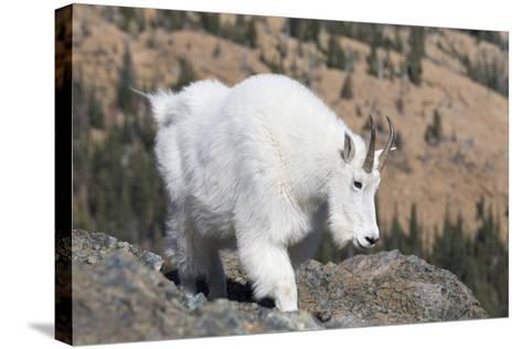 Washington, Alpine Lakes Wilderness, Mountain Goat, Nanny-Jamie And Judy Wild-Stretched Canvas Print