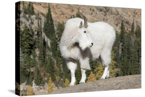 Washington, Alpine Lakes Wilderness, Mountain Goat, Billy Goat-Jamie And Judy Wild-Stretched Canvas Print