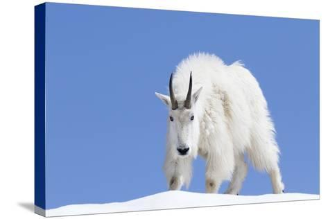 Washington, Alpine Lakes Wilderness, Mountain Goat, Billy Goat, Male-Jamie And Judy Wild-Stretched Canvas Print