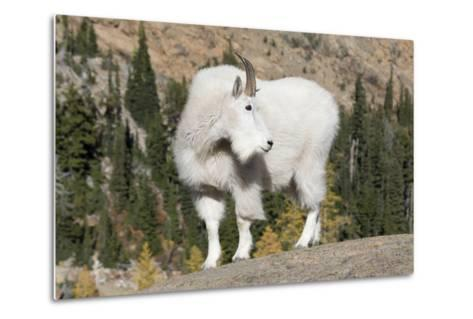 Washington, Alpine Lakes Wilderness, Mountain Goat, Billy Goat-Jamie And Judy Wild-Metal Print