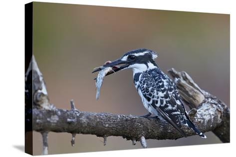 Pied Kingfisher (Ceryle Rudis) with a Fish, Kruger National Park, South Africa, Africa-James Hager-Stretched Canvas Print