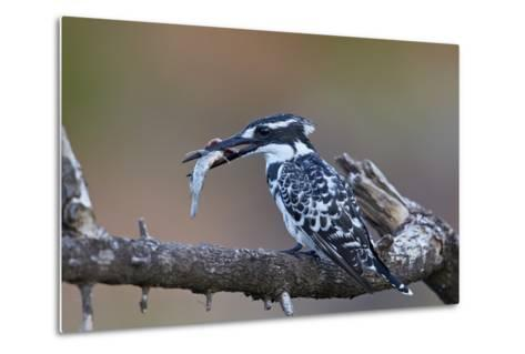 Pied Kingfisher (Ceryle Rudis) with a Fish, Kruger National Park, South Africa, Africa-James Hager-Metal Print