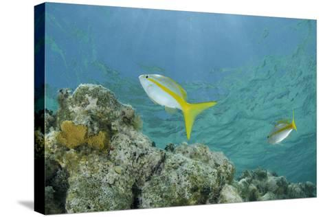 Yellowtail Snapper, Half Moon Caye, Lighthouse Reef, Atoll, Belize-Pete Oxford-Stretched Canvas Print