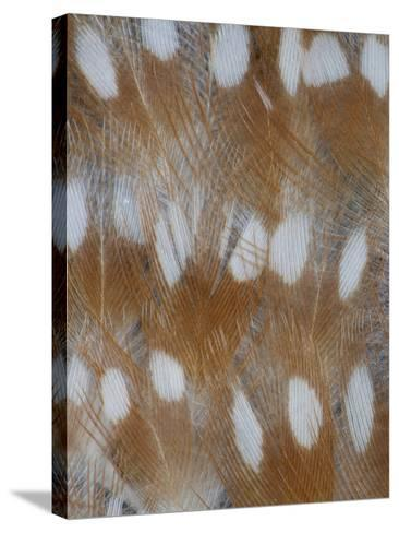 Zebra Finch Feathers of a Fawn Mutation in Coloration-Darrell Gulin-Stretched Canvas Print