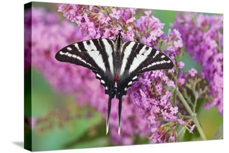 Zebra Swallowtail Butterfly-Darrell Gulin-Stretched Canvas Print