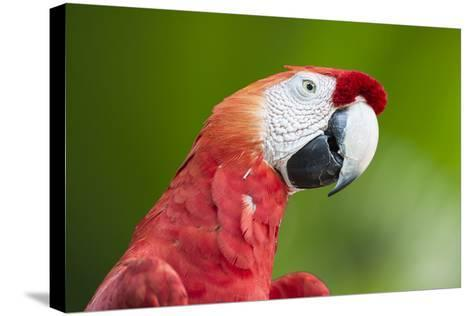 Scarlet Macaw (Ara Macao), Amazon, Brazil, South America-G&M Therin-Weise-Stretched Canvas Print