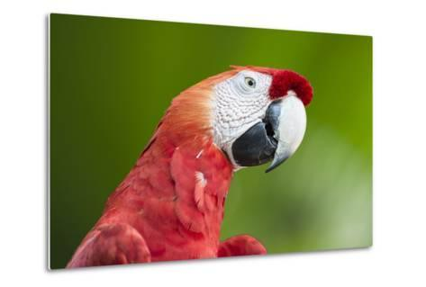 Scarlet Macaw (Ara Macao), Amazon, Brazil, South America-G&M Therin-Weise-Metal Print
