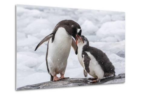 Adult Gentoo Penguin (Pygoscelis Papua) Feeding Chick at Jougla Point, Antarctica, Polar Regions-Michael Nolan-Metal Print