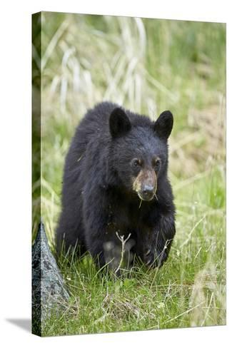 Black Bear (Ursus Americanus), Second Year Cub, Yellowstone National Park, Wyoming, U.S.A.-James Hager-Stretched Canvas Print