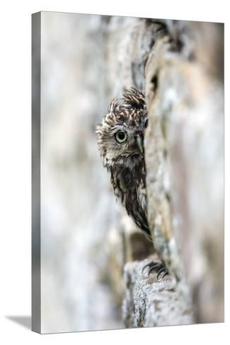 Little Owl (Athene Noctua) Perched in Stone Barn, Captive, United Kingdom, Europe-Ann & Steve Toon-Stretched Canvas Print