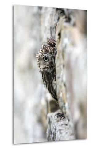 Little Owl (Athene Noctua) Perched in Stone Barn, Captive, United Kingdom, Europe-Ann & Steve Toon-Metal Print