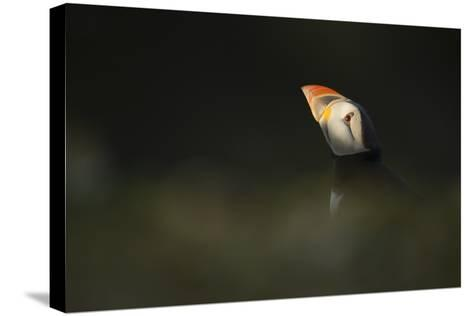 Atlantic Puffin, (Fratercula Arctica), Skomer Island, Wales, United Kingdom, Europe-Kevin Morgans-Stretched Canvas Print
