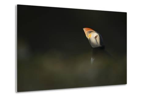 Atlantic Puffin, (Fratercula Arctica), Skomer Island, Wales, United Kingdom, Europe-Kevin Morgans-Metal Print