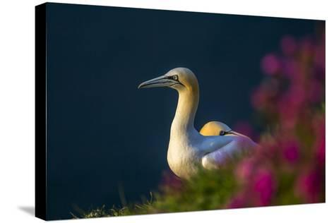 Gannet (Morus Bassanus) at Sunset on Bempton Cliffs, Yorkshire, England, United Kingdom, Europe-Andrew Sproule-Stretched Canvas Print